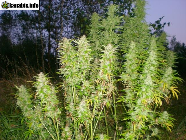 outdoor marihuana, outdoor konopie, outdoor cannabis, outdoor trawka, outdoor ganja